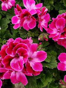Martha Washington geranium (Regal) - 5 inch pot - Hot Pink