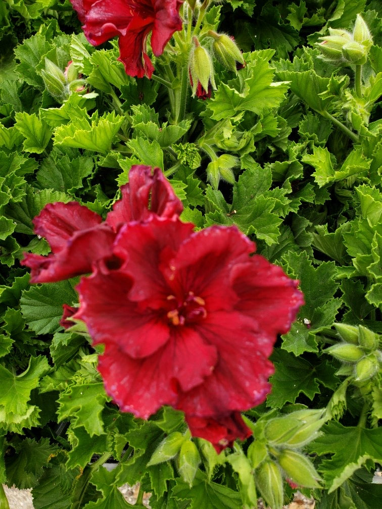 Martha Washington geranium (Regal) - 5 inch pot - Deep Red