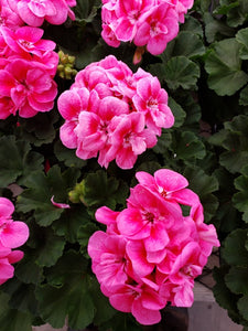 Geranium - 4 inch pot - double bloom pink #1