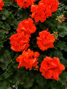 Geranium - 4 inch pot - double bloom orange