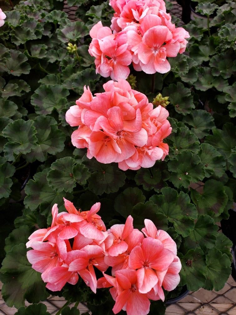 Geranium - 4 inch pot - double bloom salmon