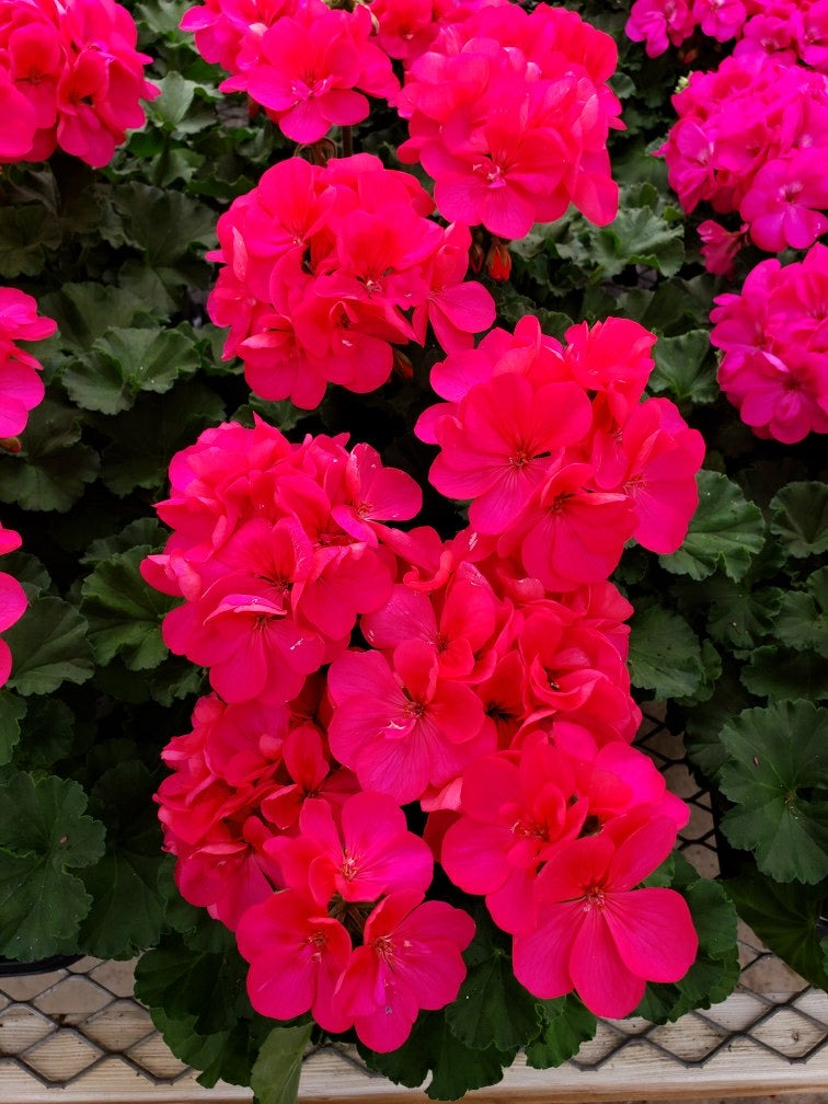 Geranium - 4 inch pot - double bloom pink #4