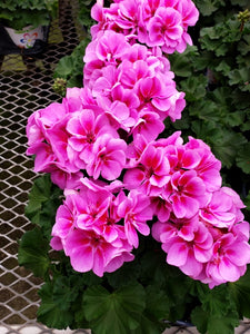 Geranium - 4 inch pot - double bloom pink #5