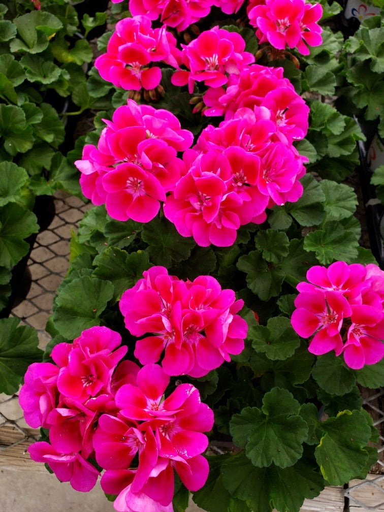 Geranium - 4 inch pot - double bloom pink #6