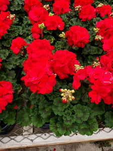 Geranium - 4 inch pot - double bloom red
