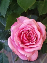 Load image into Gallery viewer, Miniature Roses - Pink