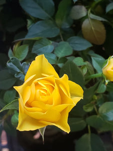 Miniature Roses - Yellow
