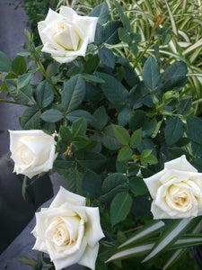 Miniature Roses - White