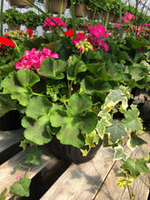 "Load image into Gallery viewer, Geranium deck pot with ivy - 12"" - Hot Pink"