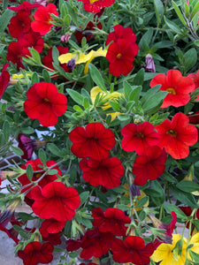 Million Bells (calibrachoa) - 10 inch hanging basket - Red, Orange, and Yellow
