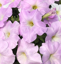"Load image into Gallery viewer, Wave Petunia - 4"" pot - Misty Lilac"