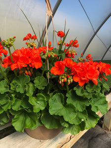 Geranium - 10 inch hanging basket - Orange