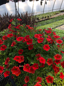Million Bells (calibrachoa) - 10 inch hanging basket - Orange