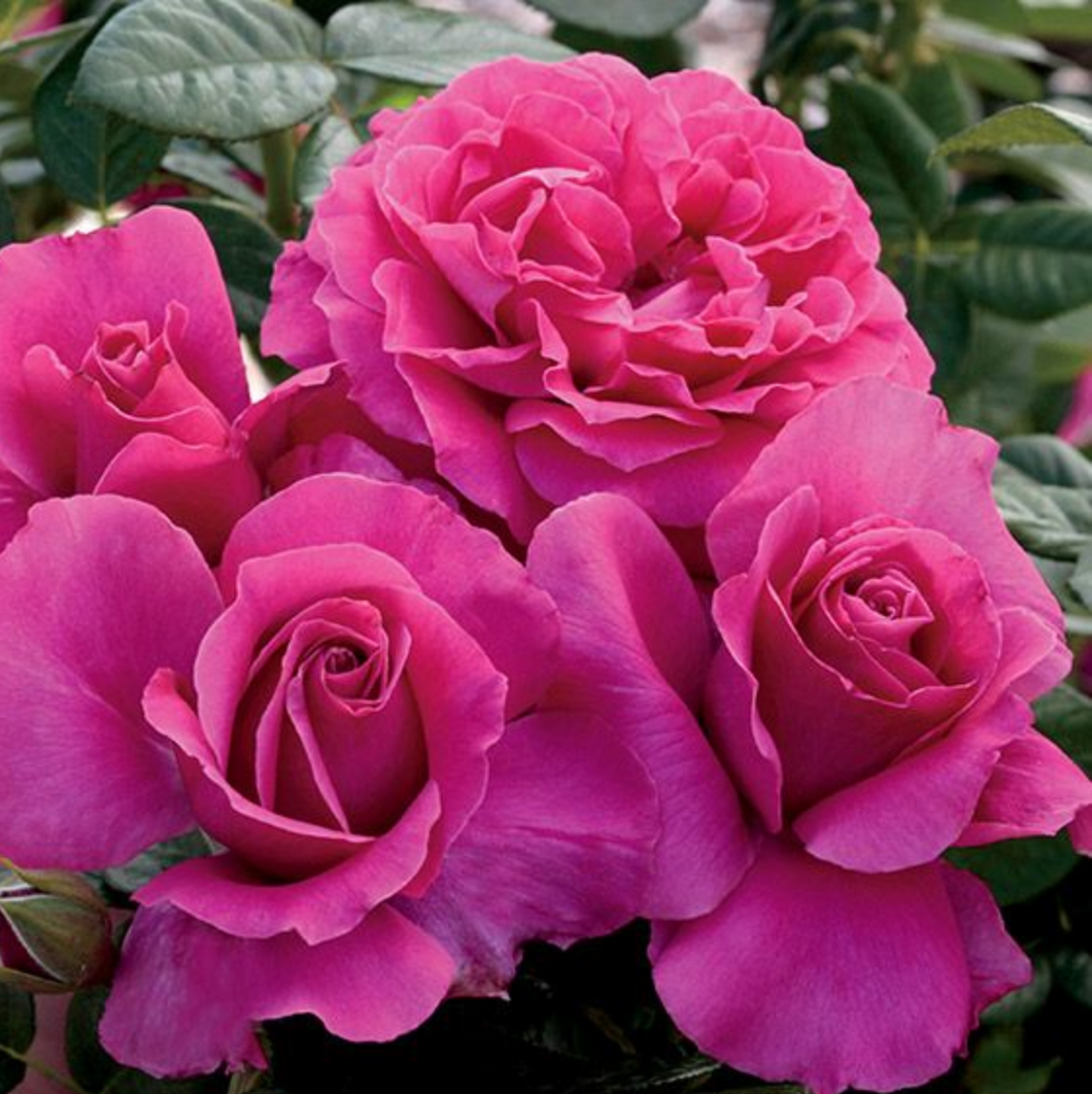 Tea Rose - Pretty Lady Rose (Deep Pink)