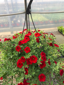 Million Bells (calibrachoa) - 10 inch hanging basket - Red
