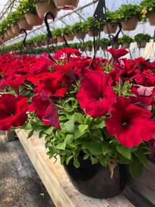 Wave Petunia - 10 inch hanging basket - Red