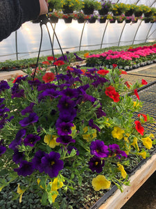 Million Bells (calibrachoa) - 10 inch hanging basket - Deep Purple/Red/Yellow