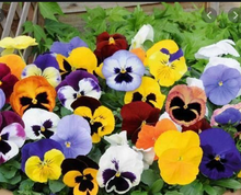 Load image into Gallery viewer, Pansy - Bowls