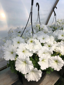Wave Petunia - 10 inch hanging basket - White