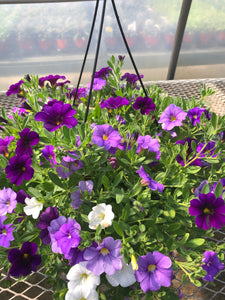 Million Bells (calibrachoa) - 10 inch hanging basket - Deep Purple/Lavender/White