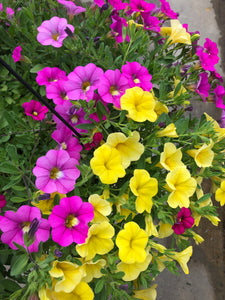 Million Bells (calibrachoa) - 10 inch hanging basket - Hot Pink and Yellow