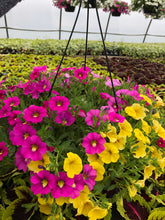 Load image into Gallery viewer, Million Bells (calibrachoa) - 10 inch hanging basket - Hot Pink and Yellow