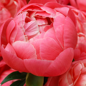 Peony - Large Pot - various colours
