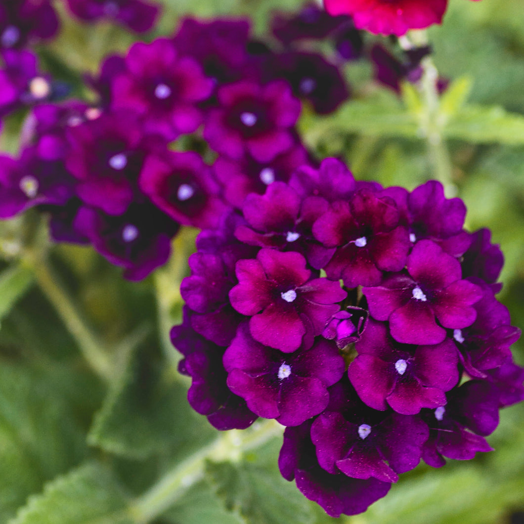 Verbena - 10 inch hanging basket - Dark Purple