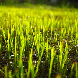 Seeds - * Grass Seed - Bulk (price per pound)