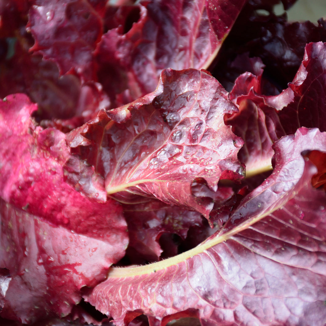 Red Ruby - leaf lettuce