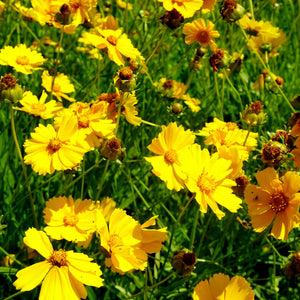 Tickseed ('Sunny Day') - coreopsis