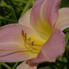Load image into Gallery viewer, Hemerocalis (Day Lily) - various colours
