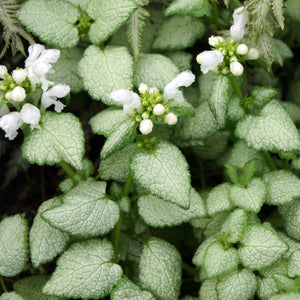 "Spotted Dead Nettle ('White Nancy') - lamium maculatum - 4"" pot"