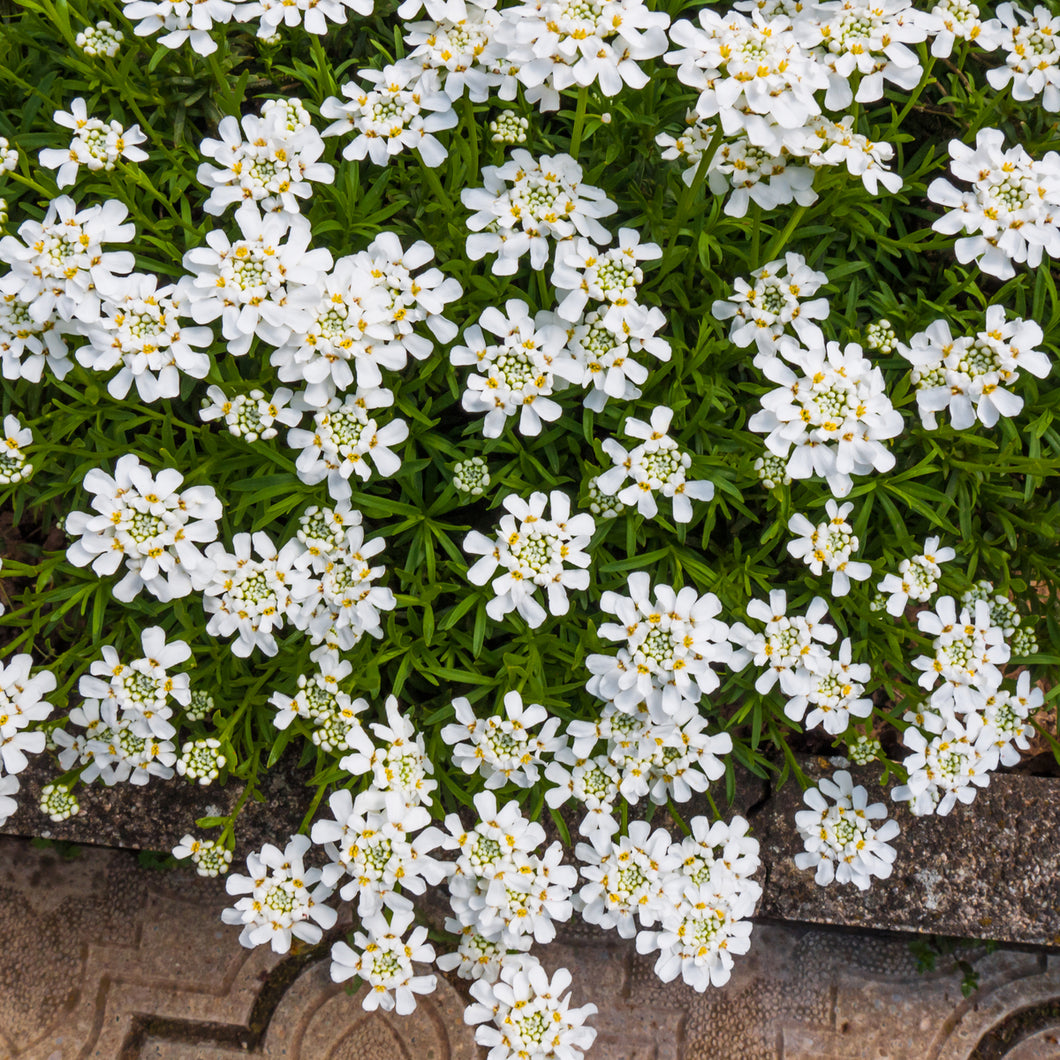 Candytuft ('Snow White') - iberis sempervirens
