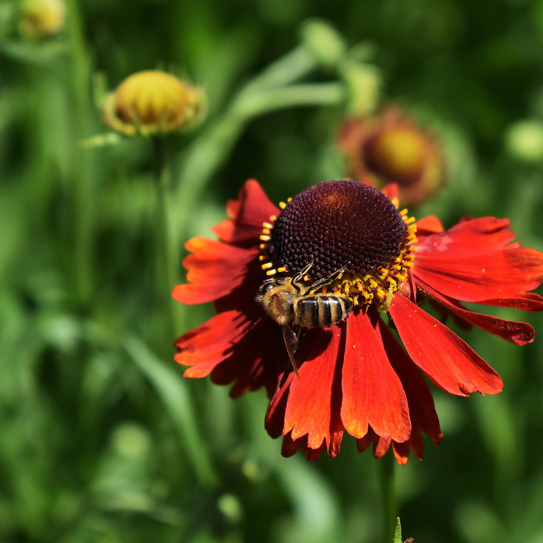 Blanket Flower ('Arizona Red Shades') - gaillardia x grandiflora