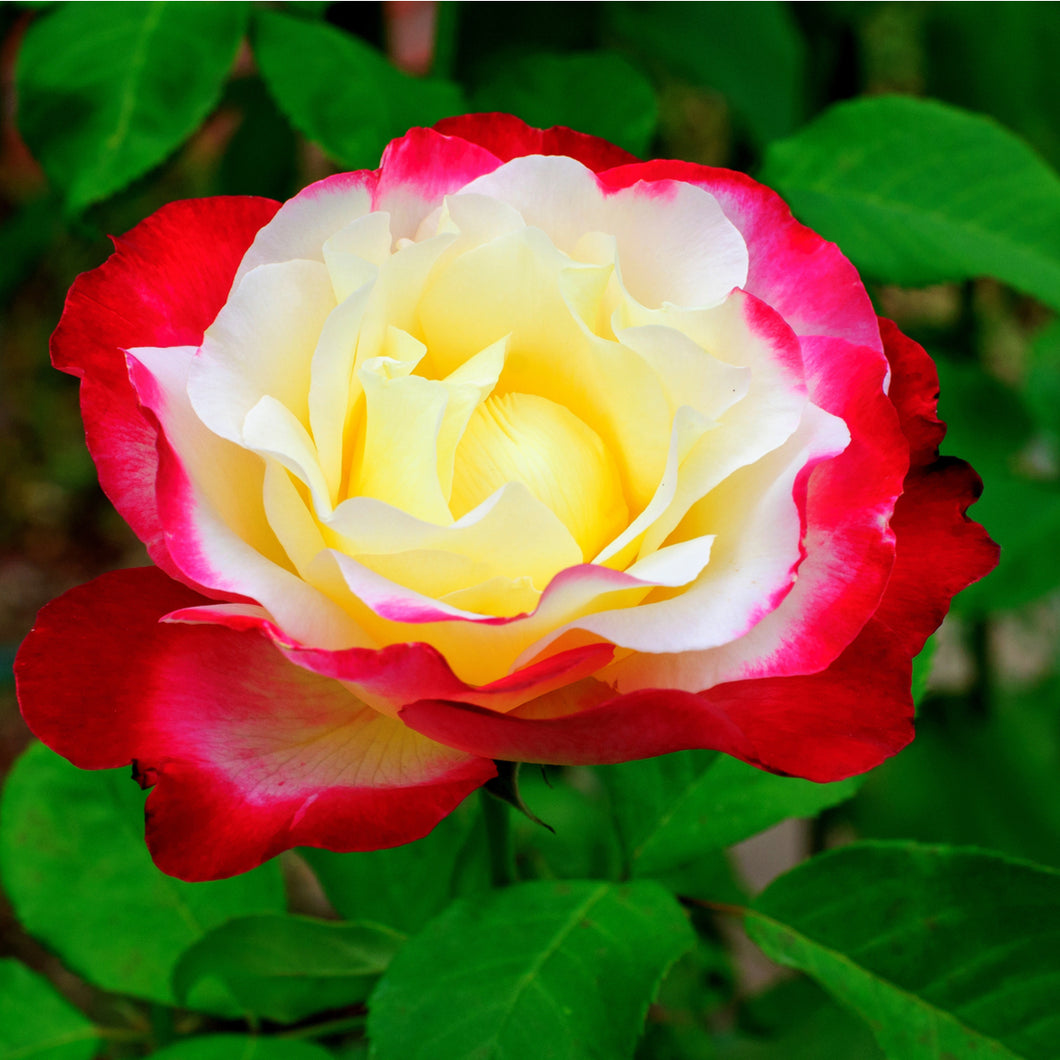 Tea Rose - Double Delight (White/Red)