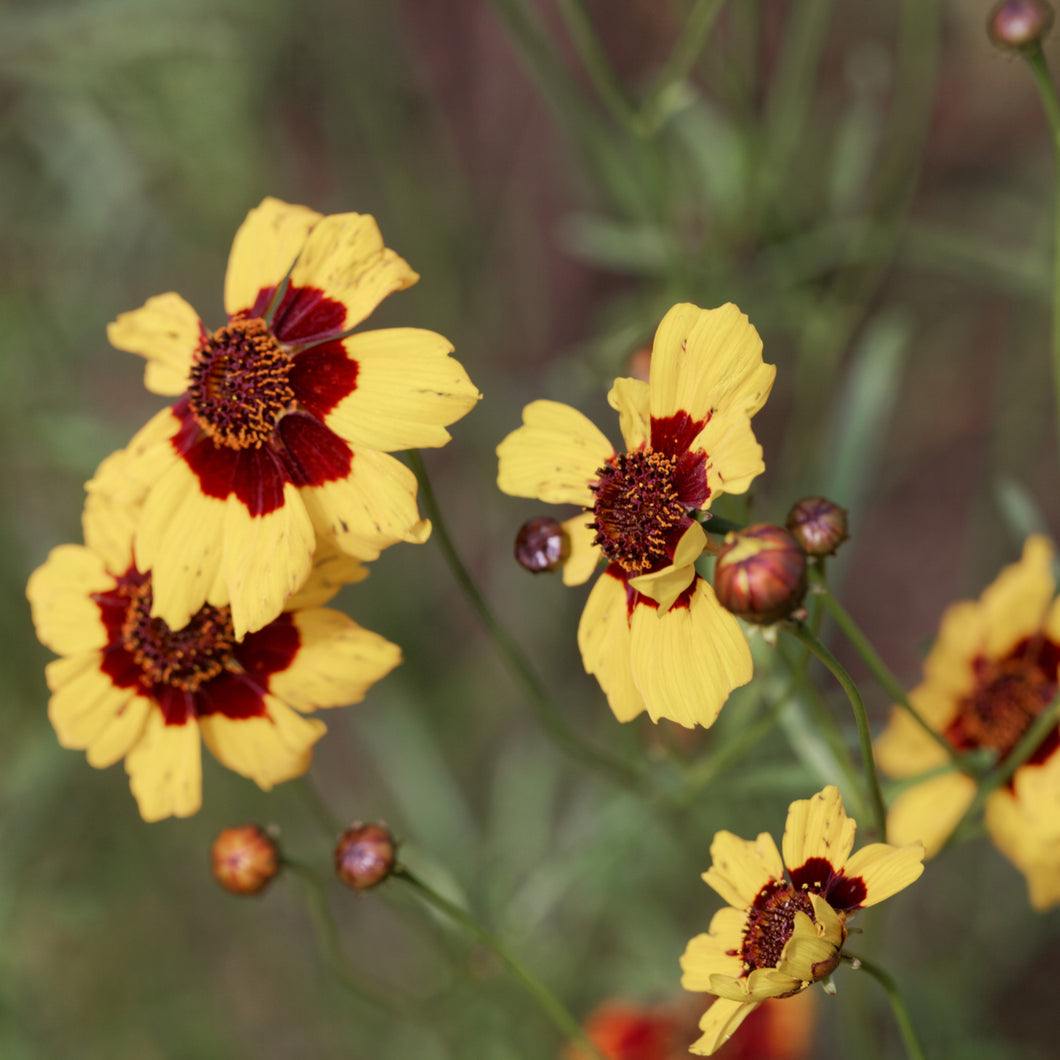 Tickseed ('Cream&Red') - coreopsis