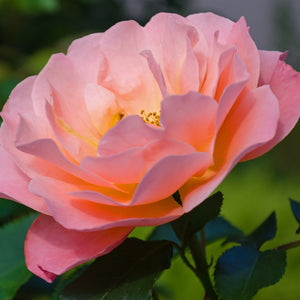 Floribunda - Jump for Joy (Peach/Pink)