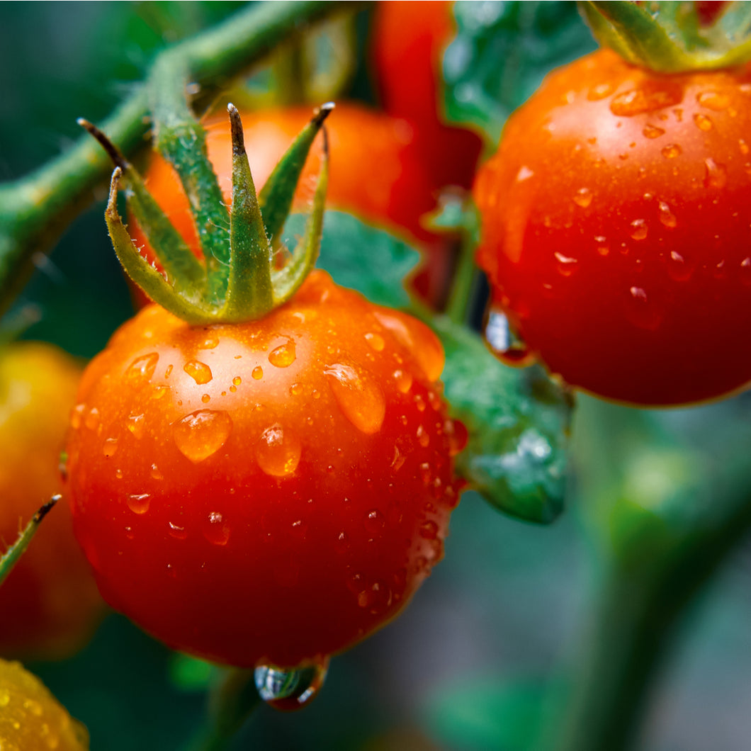 Cherry Tomatoes - Sweet 100