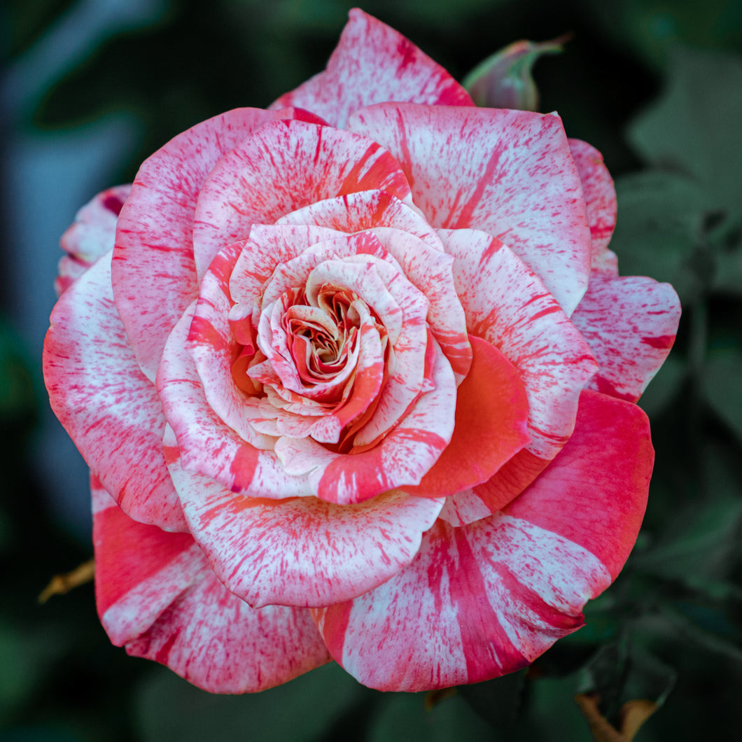Floribunda - Scentimental (Red/Cream)