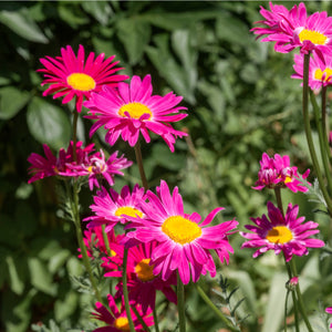 Painted Daisy ('Robinson's Mix') - pyrethrum coccineum