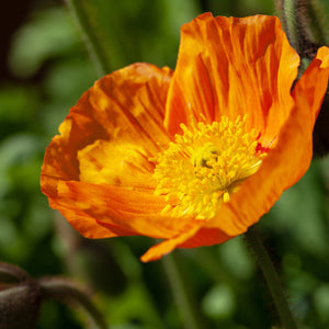 Poppy (Iceland - 'Spring Fever Orange') - papaver nudicaule
