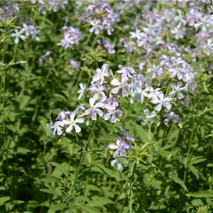 Woodland Phlox ('May Breeze') - phlox divaricata
