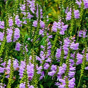 Obedient Plant (Rose) - physostegia virginiana