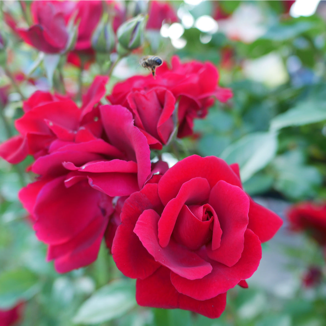 Climbing Rose - Don Juan - dark red