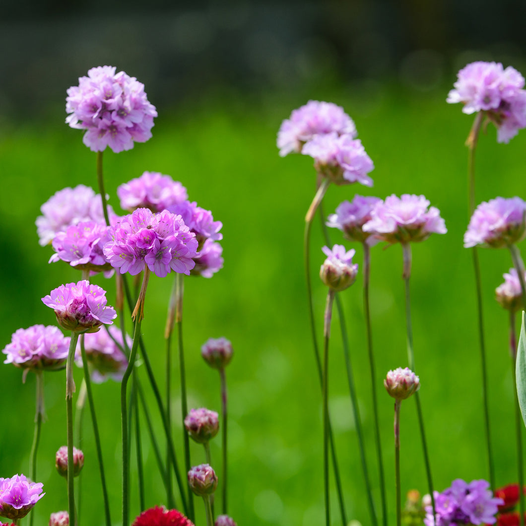 Thrift - armeria formosa