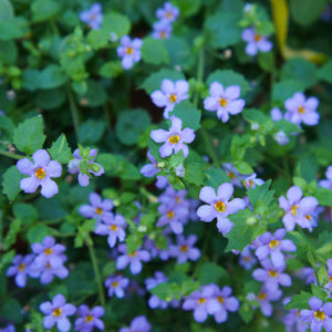 "Bacopa (blue) - 4"" pot"