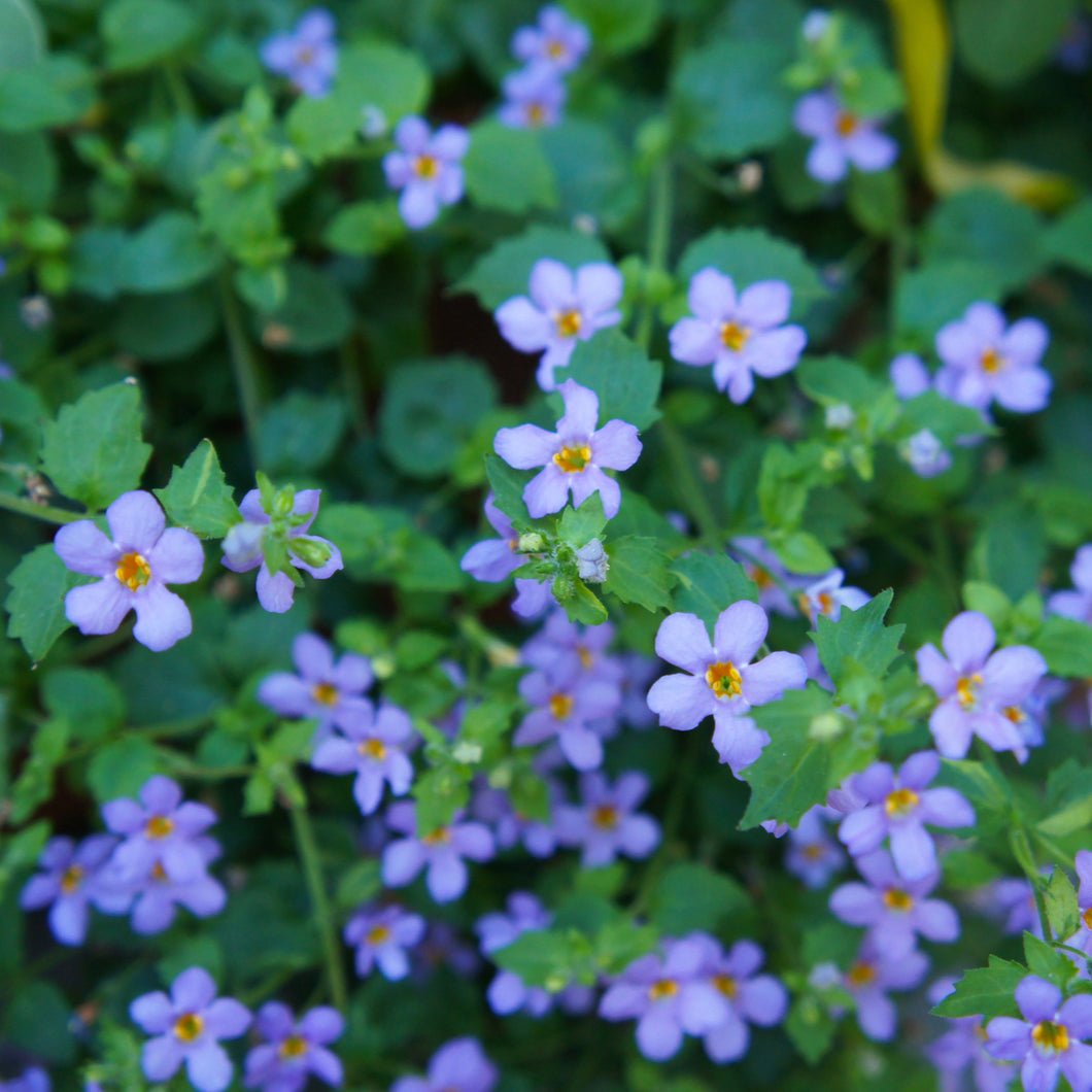 Bacopa (blue) - 4