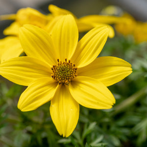 Bidens - 4 inch pot - yellow