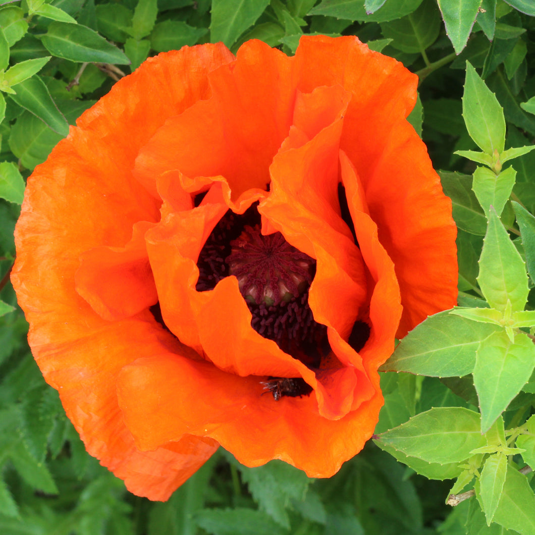 Poppy (Oriental - 'Prince of Orange') - papaver orientale